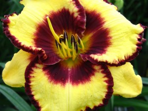 Hemerocallis Calico Jack
