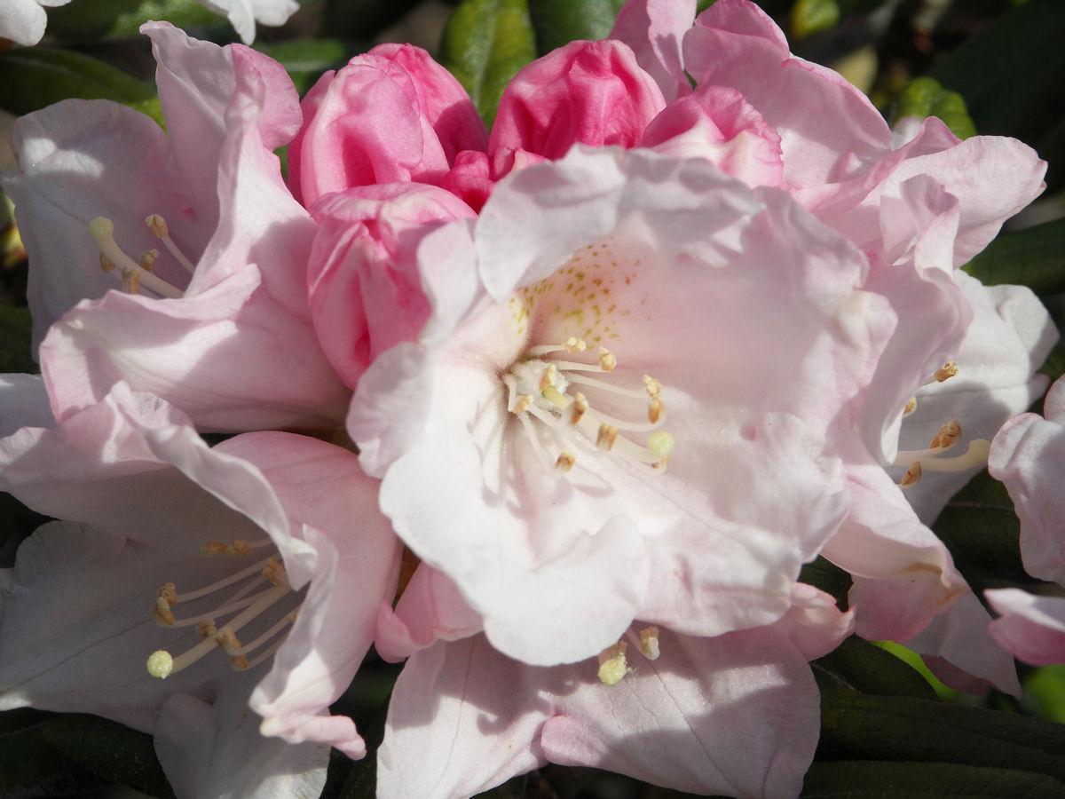 rhododendron koichiro wada ginkgo gardens. Black Bedroom Furniture Sets. Home Design Ideas